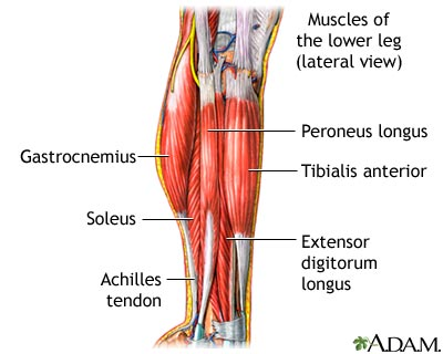 muscles of leg. Leg Muscle 101: Peroneus