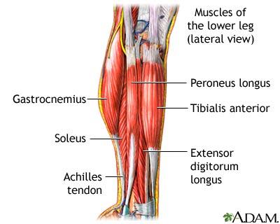 Leg Muscle 101 Peroneus Longus Bananarunning